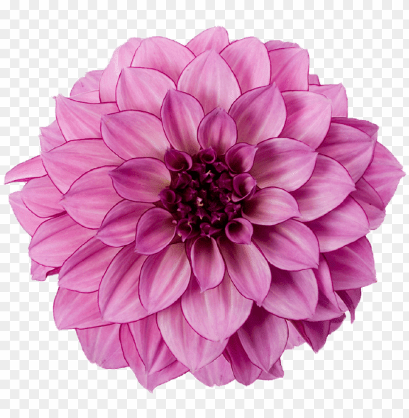 free PNG dahlia purple - pink dahlia flower PNG image with transparent background PNG images transparent