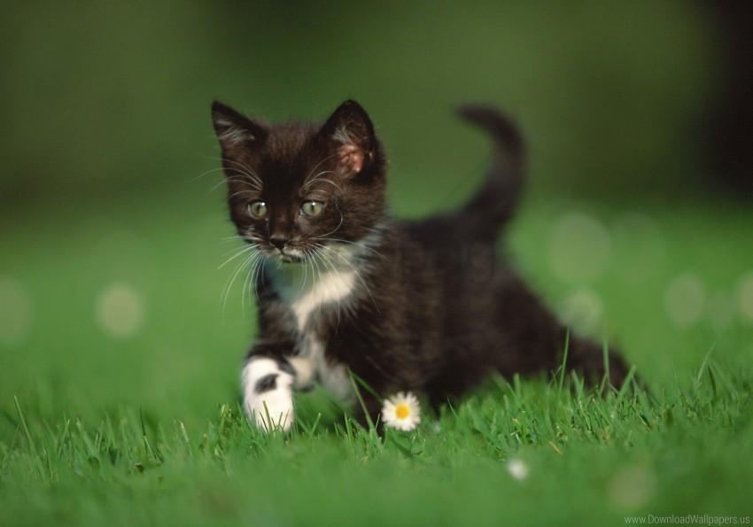 free PNG daisy, grass, kitten, legs, walk wallpaper background best stock photos PNG images transparent