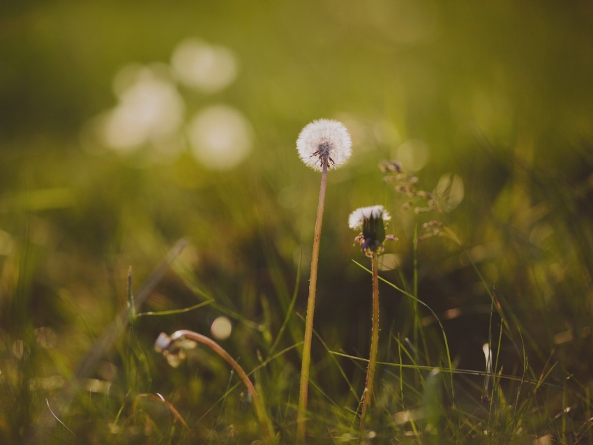dandelion, flower, grass, macro background@toppng.com