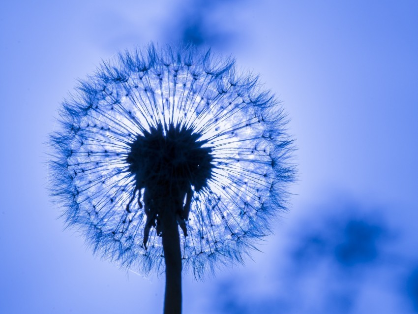 free PNG dandelion, fluff, macro, flower background PNG images transparent