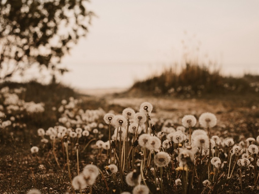 free PNG dandelions, fluffy, white, plants, nature background PNG images transparent
