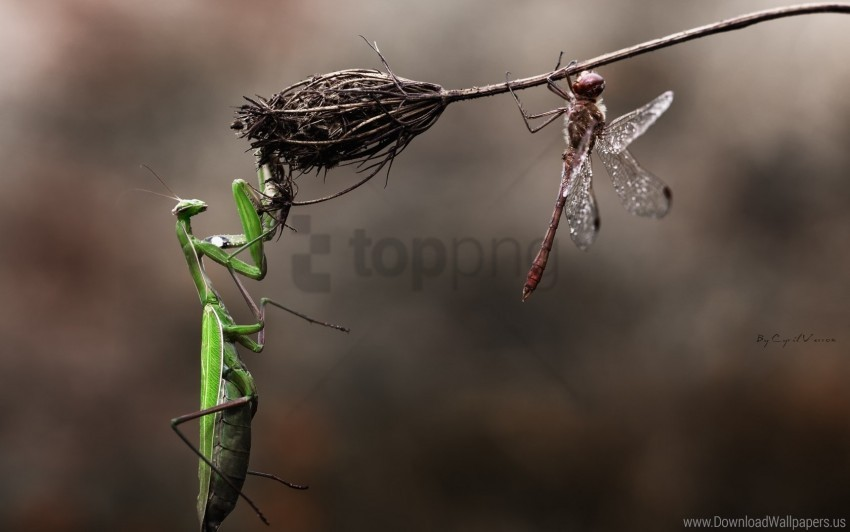 free PNG danger, dragonfly, dry, flower, grass, insects, macro, mantis wallpaper background best stock photos PNG images transparent