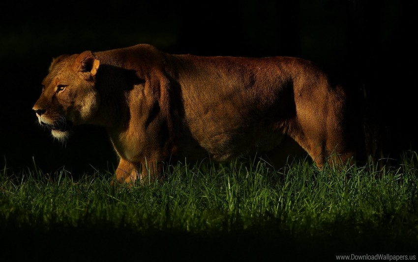 free PNG dark, grass, hunting, lion, predator, shadow, walking wallpaper background best stock photos PNG images transparent