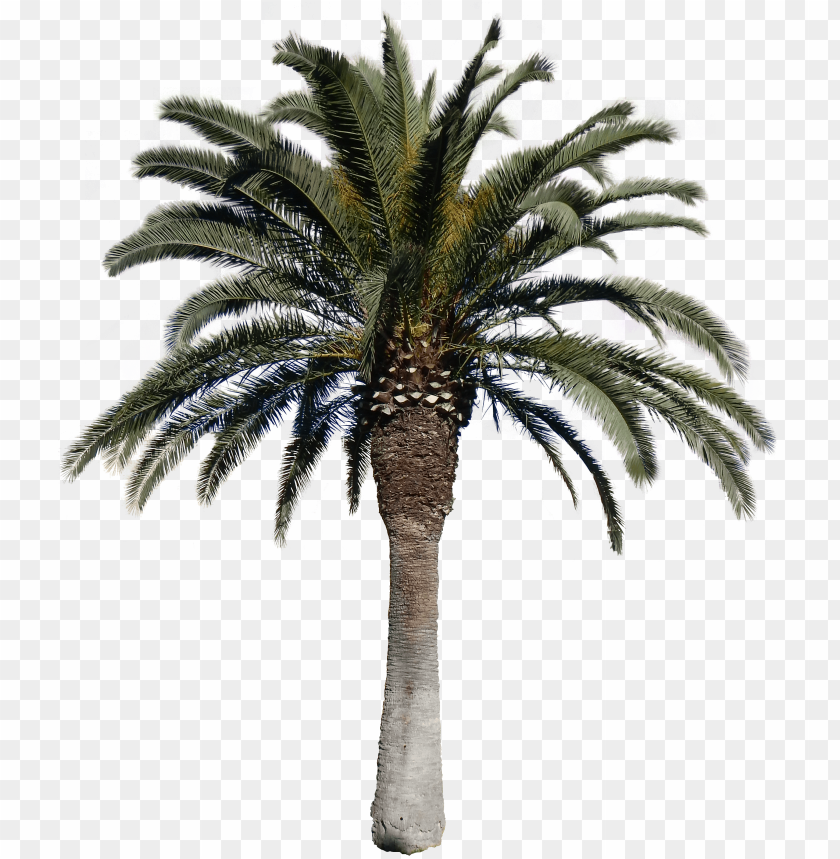 free PNG date palm tree PNG image with transparent background PNG images transparent