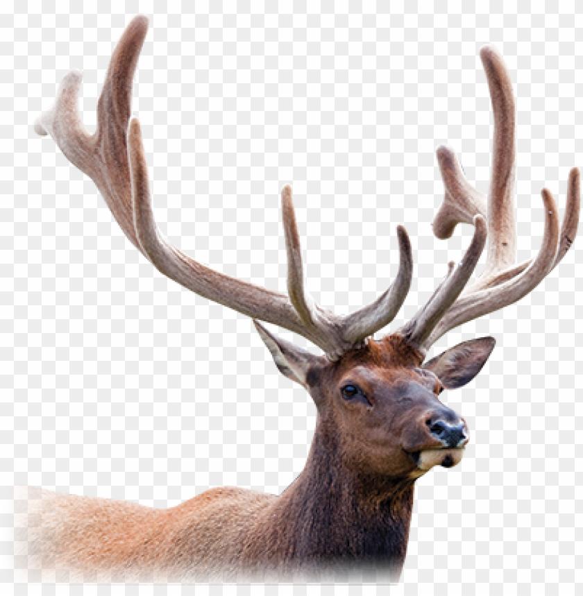free PNG deer antler png picture royalty free library - deer antler velvet PNG image with transparent background PNG images transparent