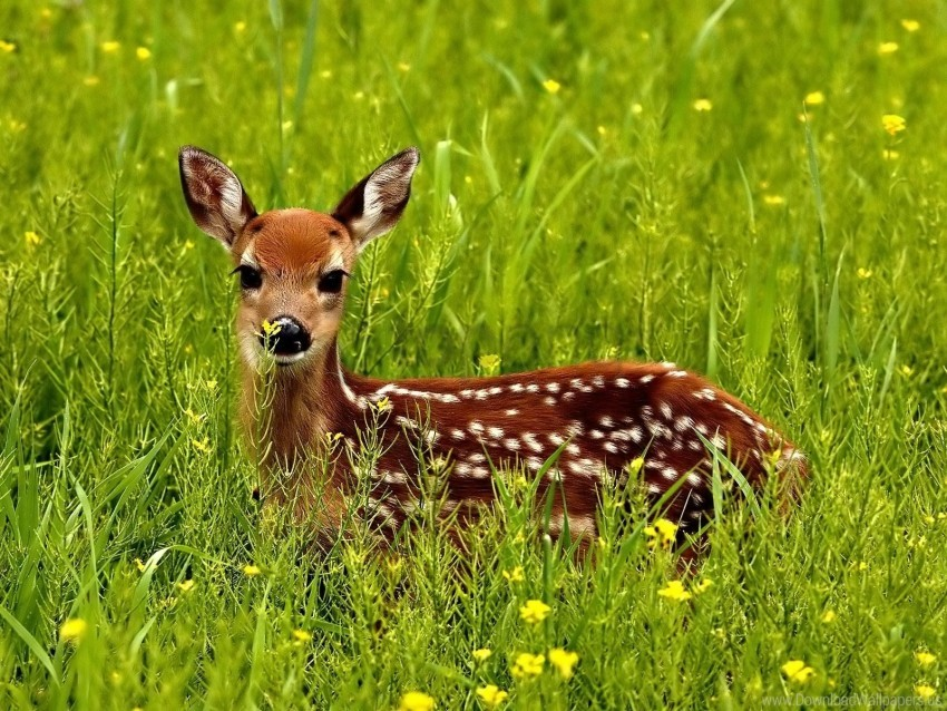 free PNG deer, grass, hide, spotted wallpaper background best stock photos PNG images transparent