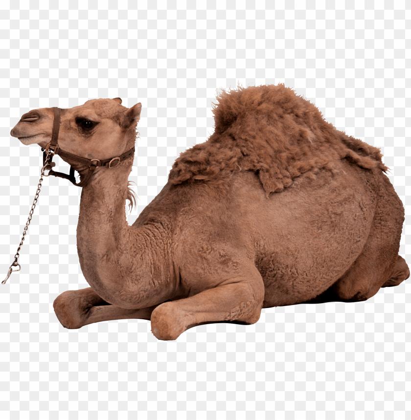 free PNG Download desert camel sitting png images background PNG images transparent