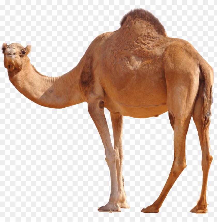 free PNG Download desert camel standing png images background PNG images transparent