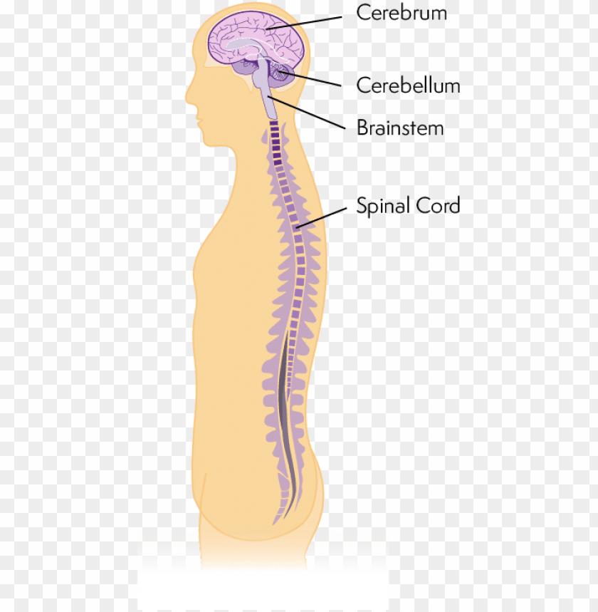 free PNG diagram of central nervous system - central nervous system PNG image with transparent background PNG images transparent