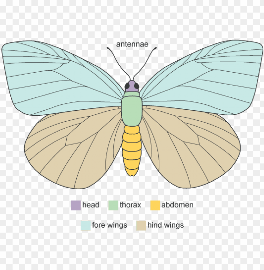 free PNG diagram showing the main anatomical features of a butterfly - diagram of adult butterfly PNG image with transparent background PNG images transparent