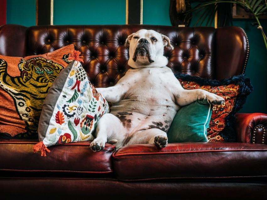 free PNG dog, bulldog, king, sofa, pillows background PNG images transparent