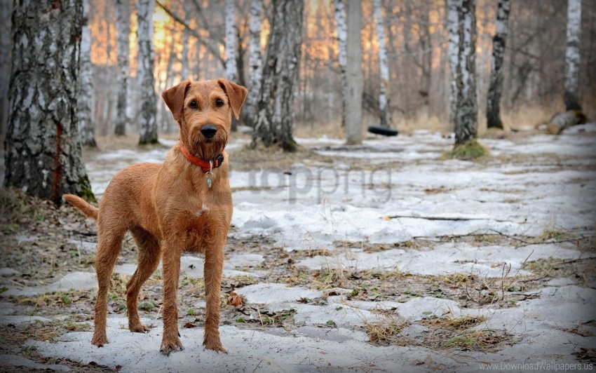 free PNG dog, dog collar, muzzle, snow, spring, walk, wood wallpaper background best stock photos PNG images transparent