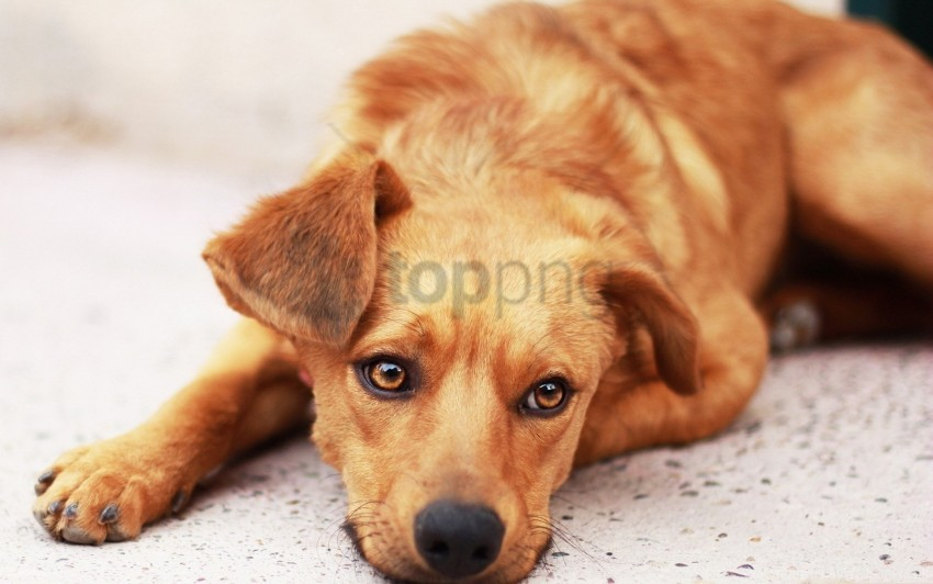 free PNG dog, down, ears, face wallpaper background best stock photos PNG images transparent