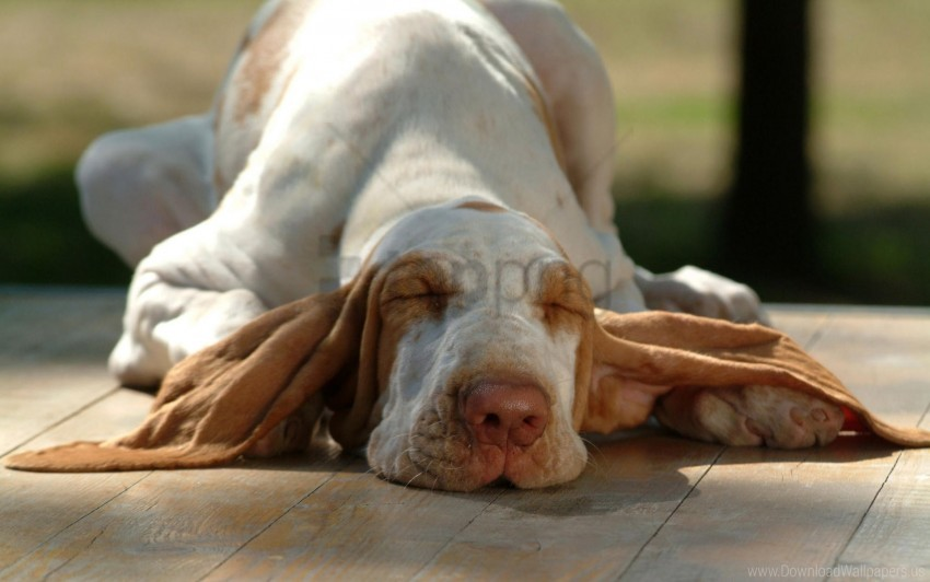 free PNG dog, ears, lying, muzzle, sleep wallpaper background best stock photos PNG images transparent