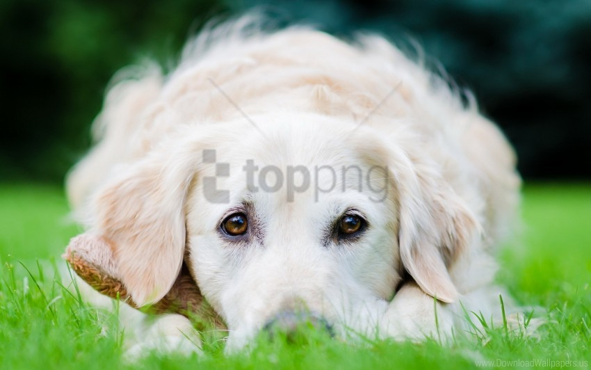 free PNG dog, eyes, face, grass, lie wallpaper background best stock photos PNG images transparent