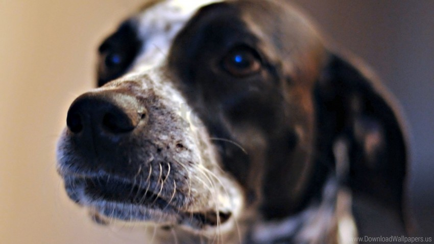 free PNG dog, eyes, mottled, muzzle wallpaper background best stock photos PNG images transparent