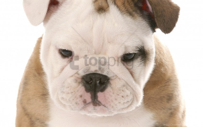 free PNG dog, eyes, puppy, sadness, snout wallpaper background best stock photos PNG images transparent