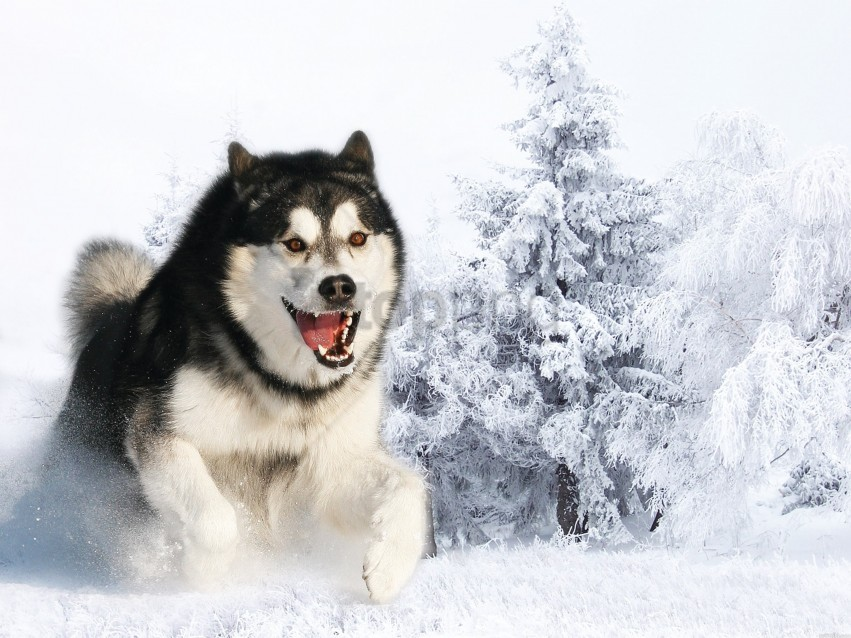 Dog Face Fluffy Hair Husky Wallpaper Background Best Stock Photos Toppng