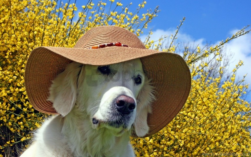 free PNG dog, face, hat, summer wallpaper background best stock photos PNG images transparent