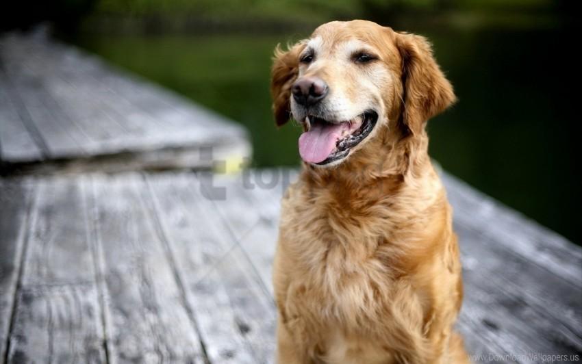free PNG dog, face, labrador, rest, tongue wallpaper background best stock photos PNG images transparent