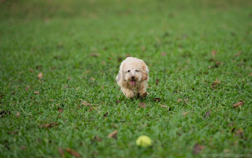 free PNG dog, grass, play, run wallpaper background best stock photos PNG images transparent