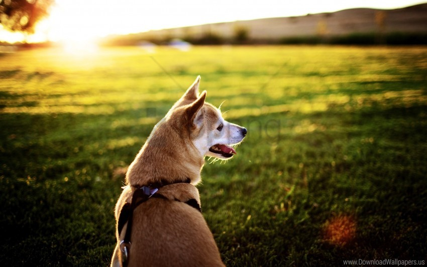 free PNG dog, grass, rest, sit, sunset, tongue wallpaper background best stock photos PNG images transparent