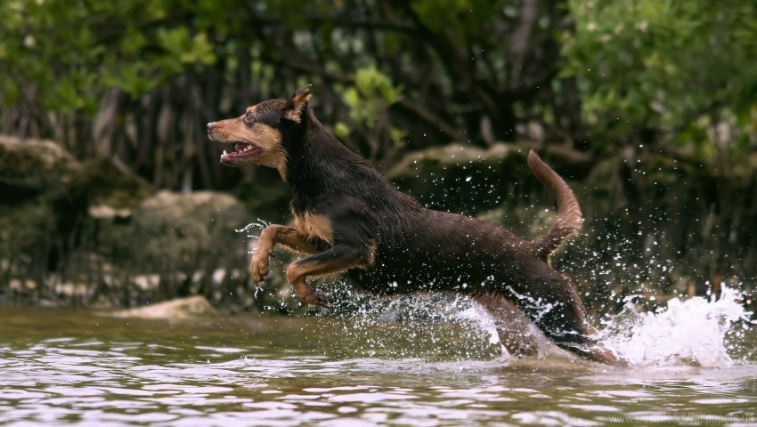 free PNG dog, hunting, jump, running, splash, water wallpaper background best stock photos PNG images transparent