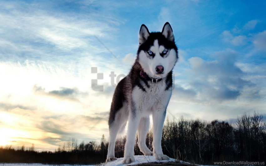 free PNG dog, husky, look, muzzle, spotted wallpaper background best stock photos PNG images transparent