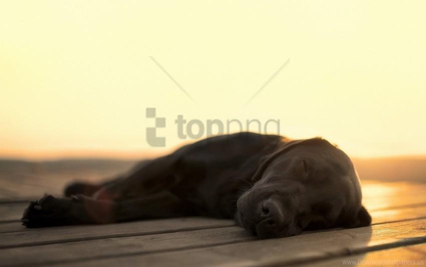 free PNG dog, labrador, sleeping wallpaper background best stock photos PNG images transparent