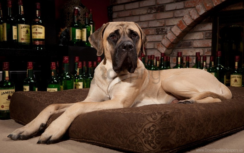 free PNG dog, lie, mastiff, pillow, room, whiskey wallpaper background best stock photos PNG images transparent