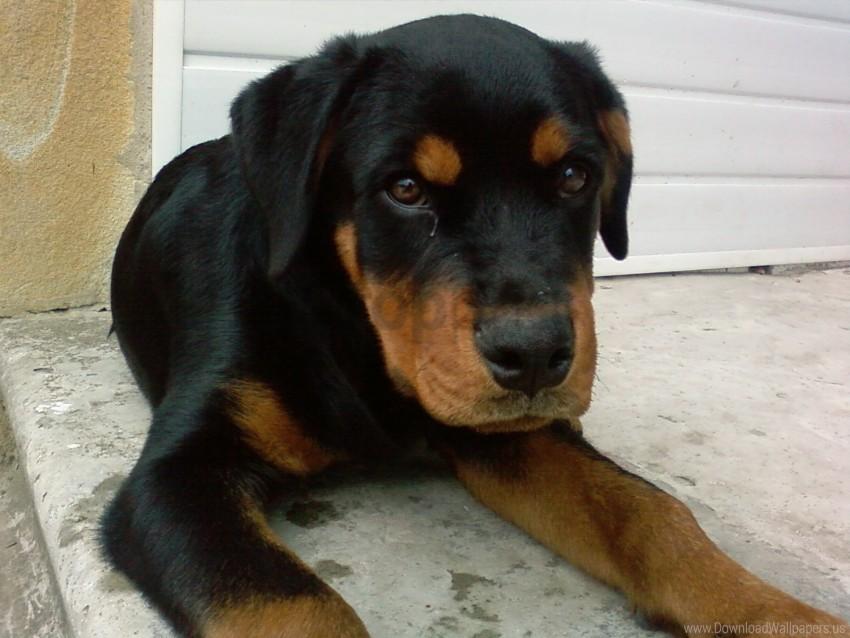 Dog Lies Puppy Rottweiler Wallpaper Background Best Stock Photos Toppng