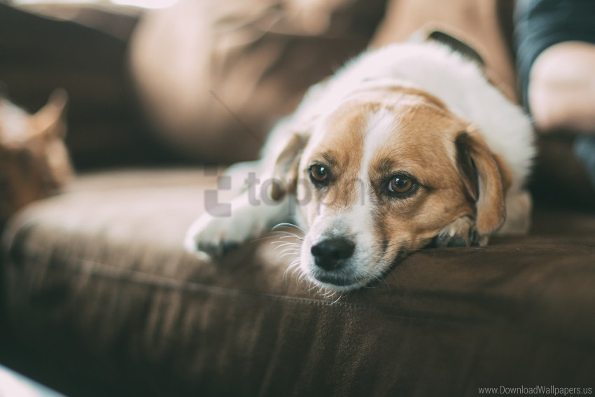 free PNG dog, lying, muzzle, sofa wallpaper background best stock photos PNG images transparent
