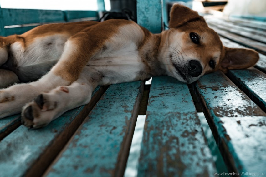 free PNG dog, lying, puppy, shiba inu wallpaper background best stock photos PNG images transparent