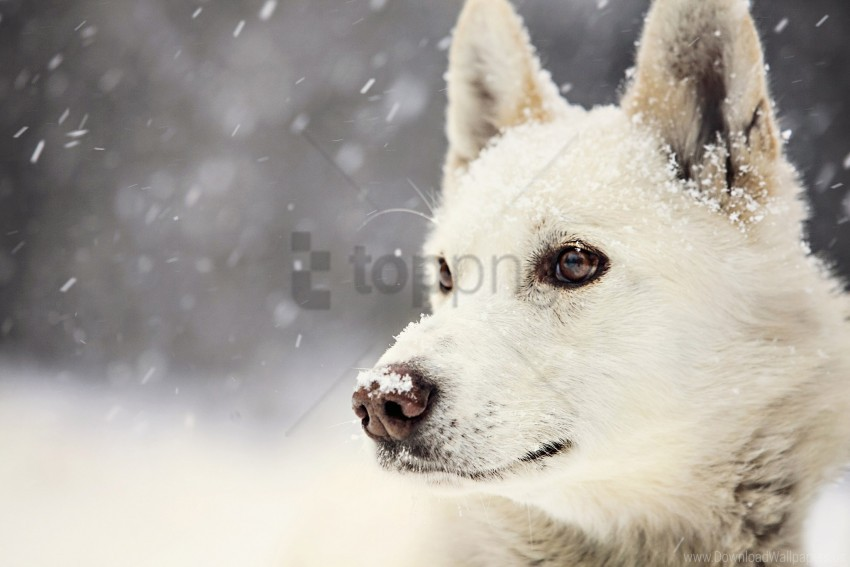 free PNG dog, muzzle, pro, snow wallpaper background best stock photos PNG images transparent