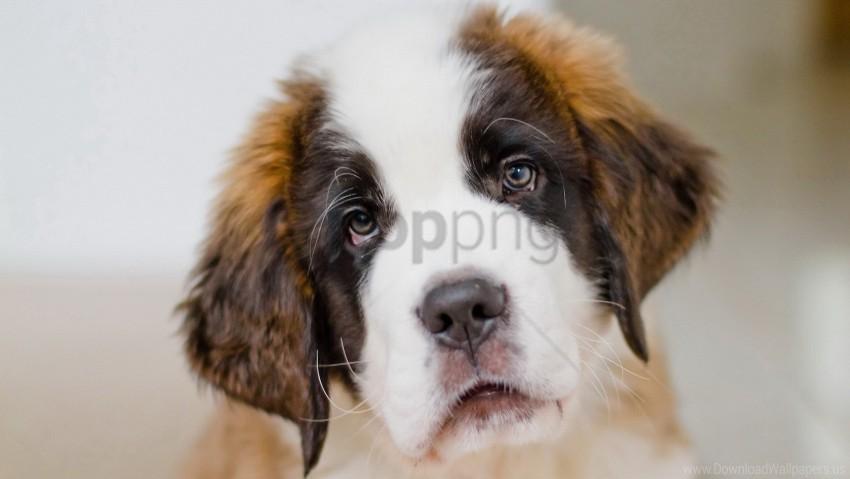 free PNG dog, muzzle, puppy, saint bernard wallpaper background best stock photos PNG images transparent