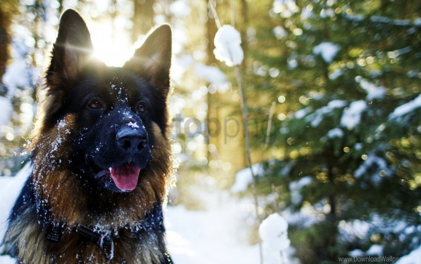 free PNG dog, muzzle, shepherd, snow wallpaper background best stock photos PNG images transparent