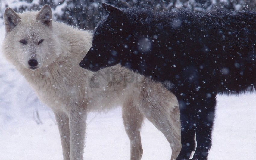 free PNG dogs, pair, predator, snow, wolves wallpaper background best stock photos PNG images transparent