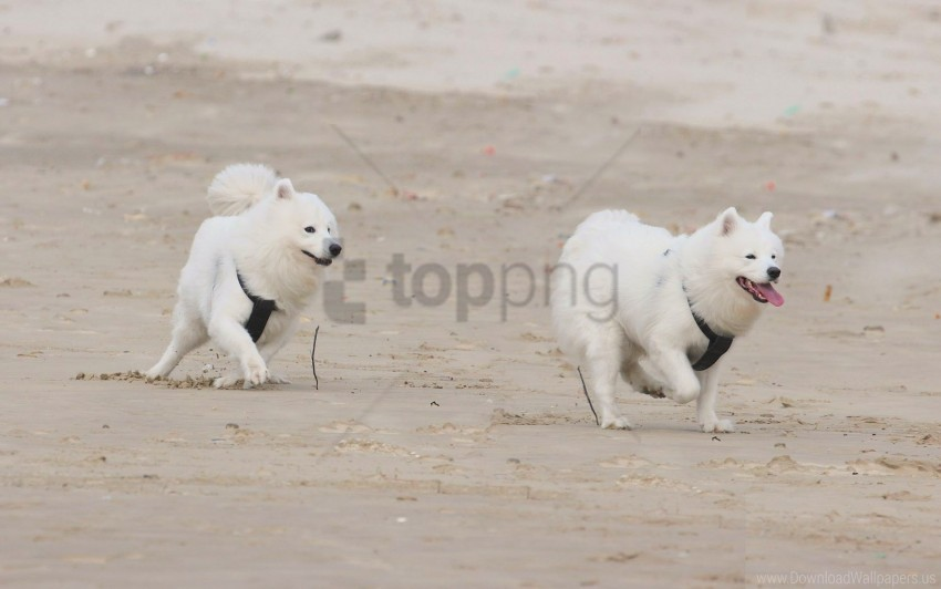 dogs, puppies, running, samoyed dogs wallpaper background best stock photos@toppng.com