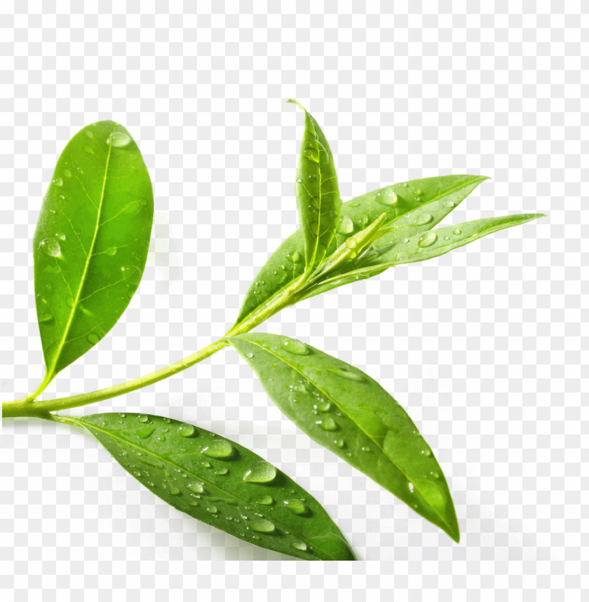 free PNG download tea tree png clipart green tea tea tree oil - tea tree leaf PNG image with transparent background PNG images transparent
