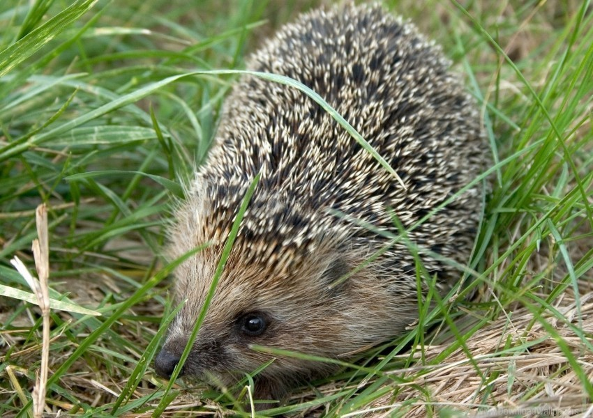 free PNG dry, grass, hedgehog, thorn wallpaper background best stock photos PNG images transparent
