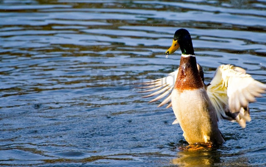 free PNG duck, flap, water, wings wallpaper background best stock photos PNG images transparent