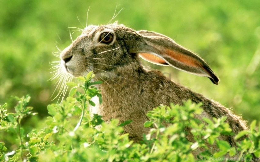 free PNG ears, face, grass, light, rabbit wallpaper background best stock photos PNG images transparent