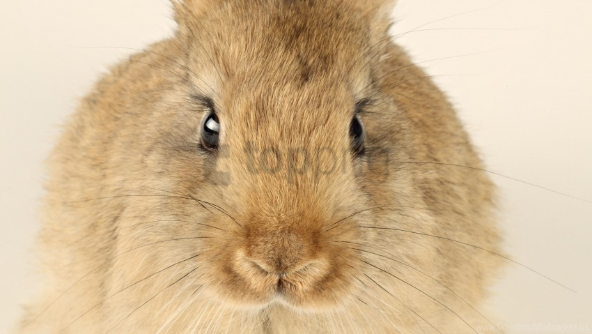 ears, face, rabbit, whiskers wallpaper background best stock photos@toppng.com