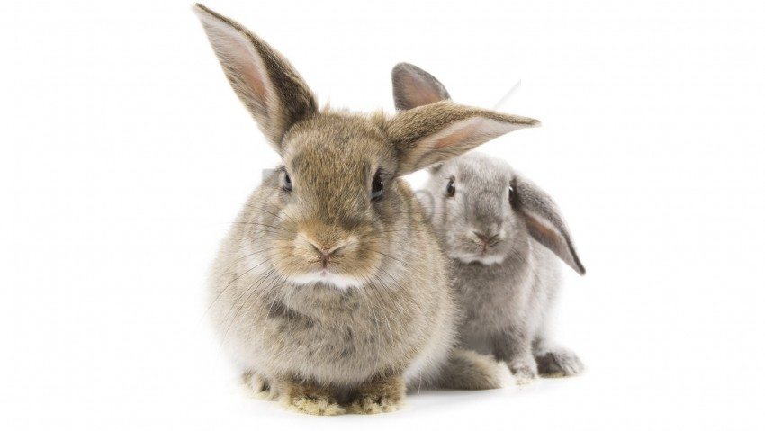 free PNG ears, furry animal, gray rabbit wallpaper background best stock photos PNG images transparent