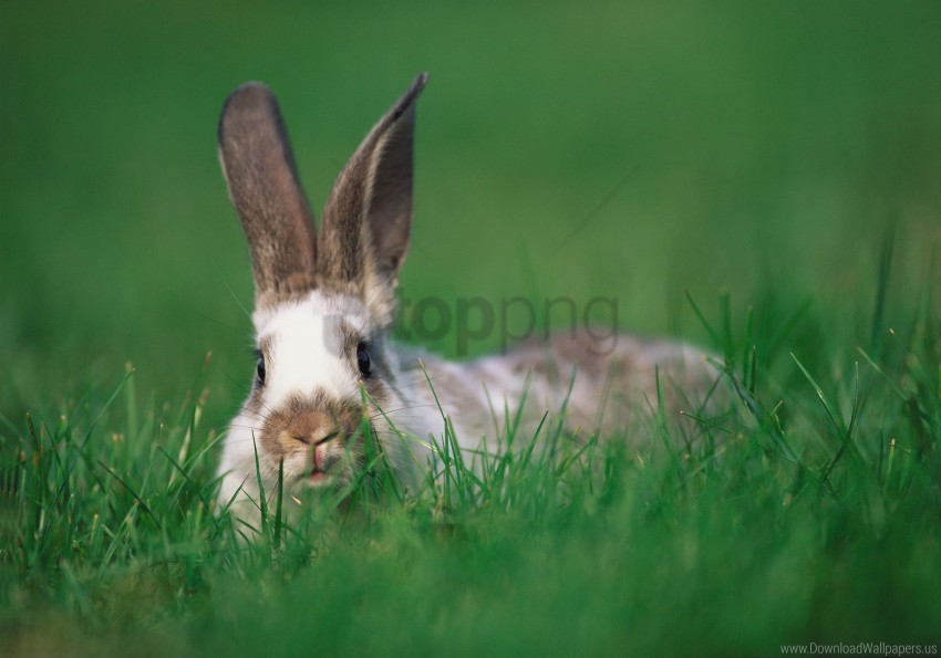 free PNG ears, grass, hide and seek, rabbit wallpaper background best stock photos PNG images transparent