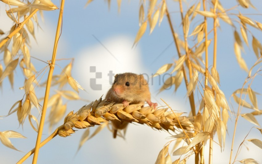 free PNG ears of corn, eurasian harvest mouse, mouse wallpaper background best stock photos PNG images transparent