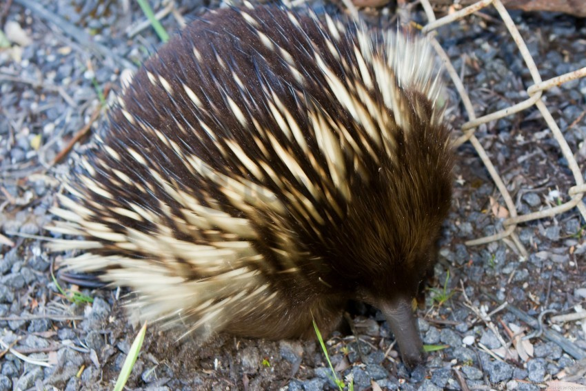 free PNG echidna, nose, spines, stones wallpaper background best stock photos PNG images transparent