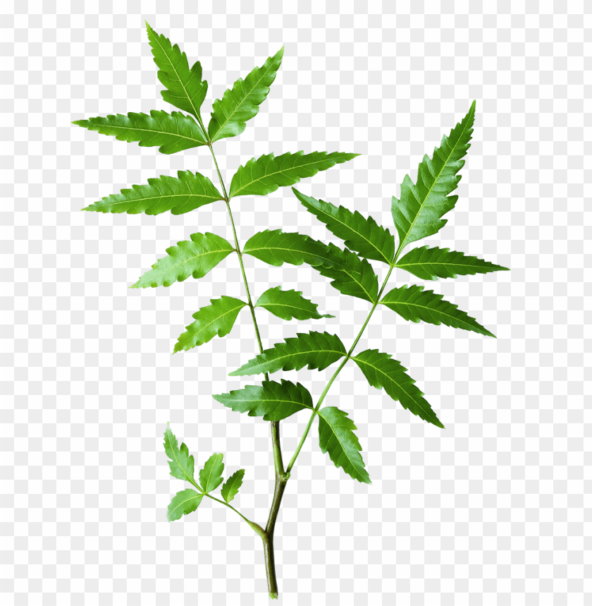 free PNG eem - himalaya neem leaves PNG image with transparent background PNG images transparent