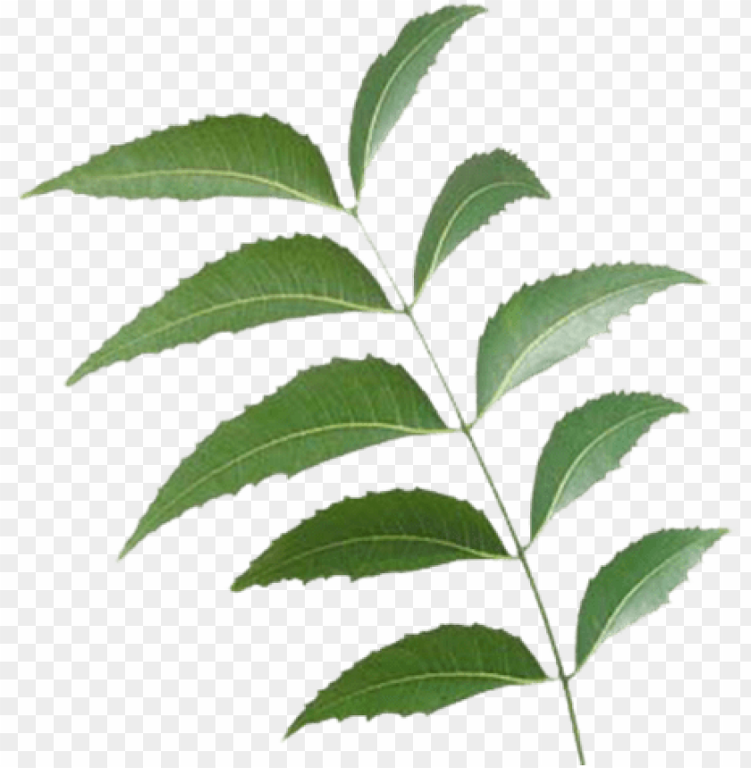free PNG eem leaf - neem tree leaf PNG image with transparent background PNG images transparent