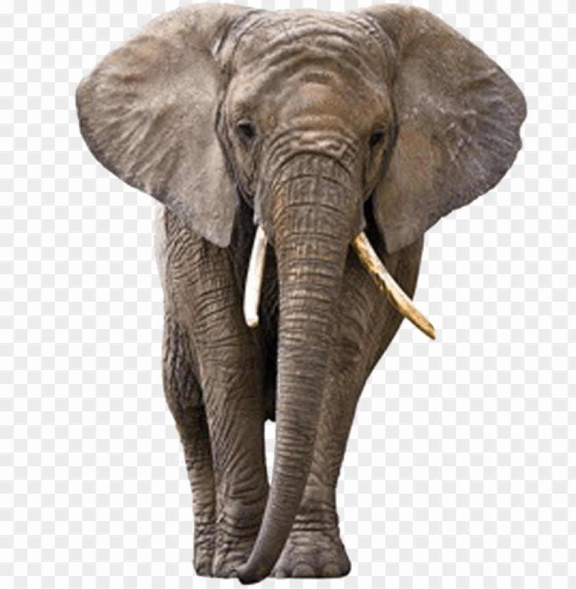 Download Elephant Png Images Background Toppng Elephants are large mammals of the family elephantidae and the order in this clipart you can download free png images: download elephant png images background